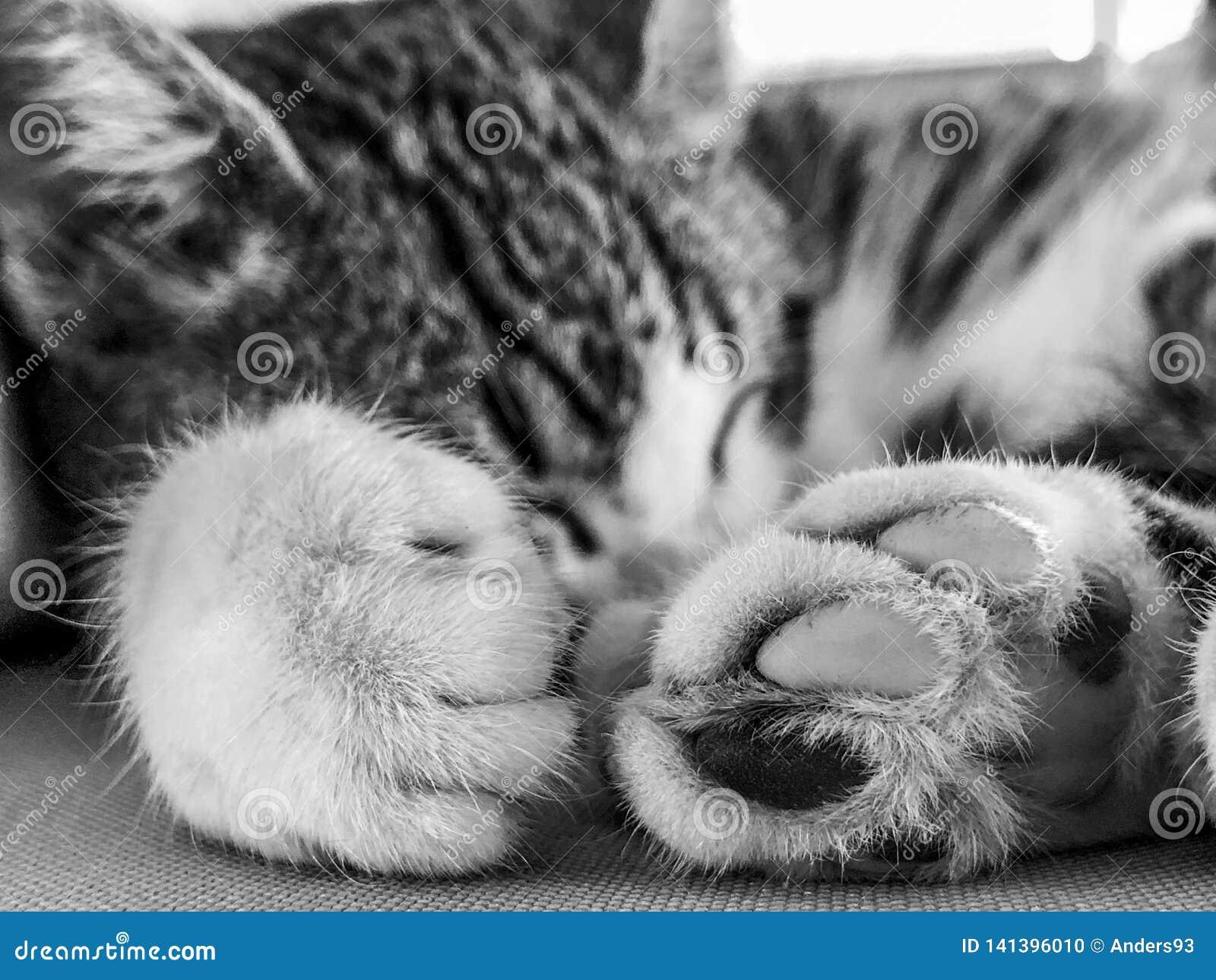 Patas do gato do gatinho