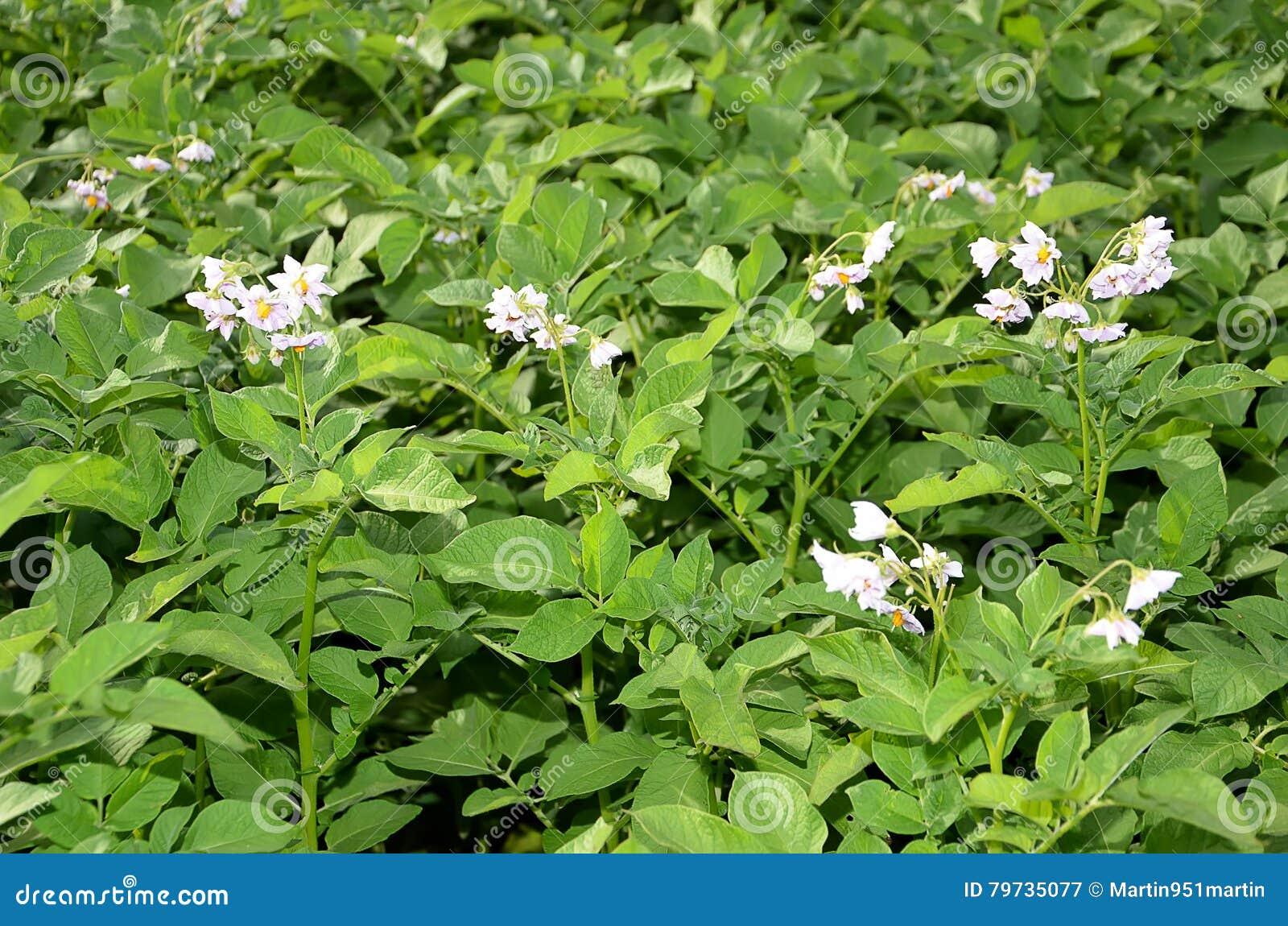 Patata floreciente en el color de campo