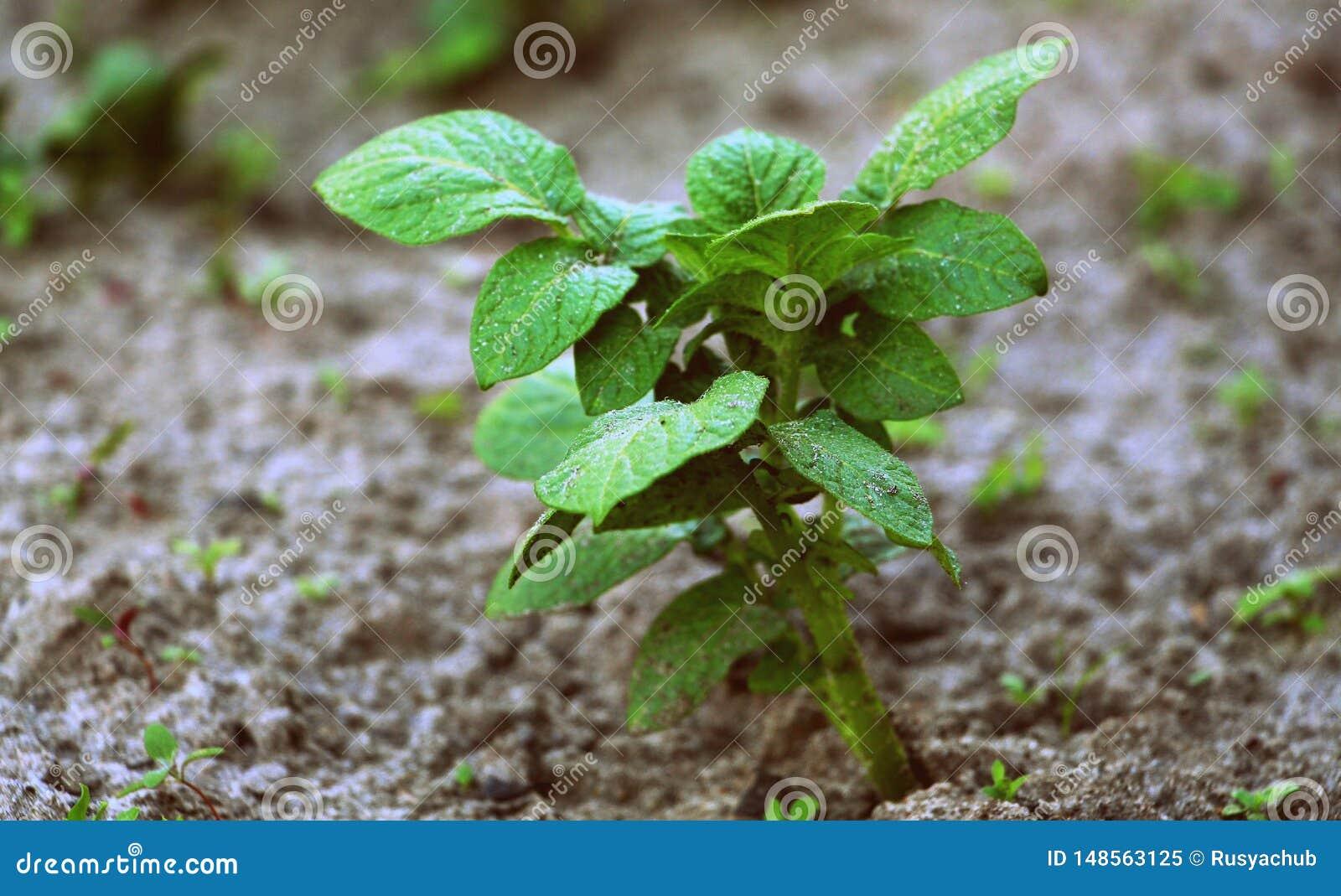 Patate crescenti Patate verdi Patate novelle fresche nel giardino Semi germogliati