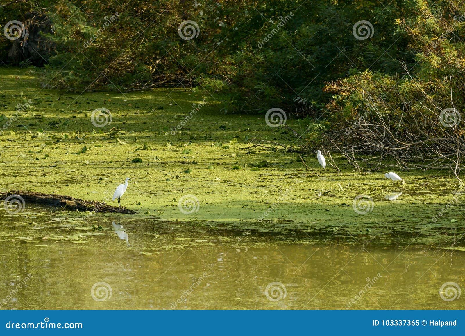 Patauger des oiseaux sur le mudflat vert près du rivage rivière de Mincio, mA