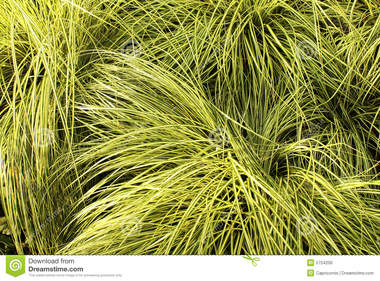 Patch of yellow green grass stock photo image 5754200 for Yellow green ornamental grasses