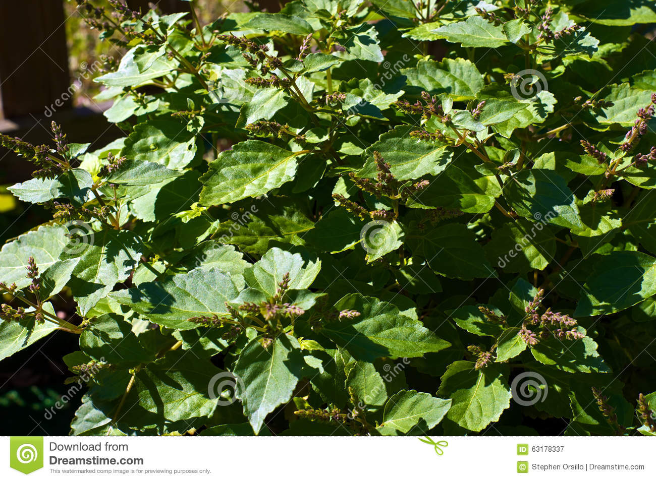 Patchouli Plant With Flowers Stock Photo Image 63178337