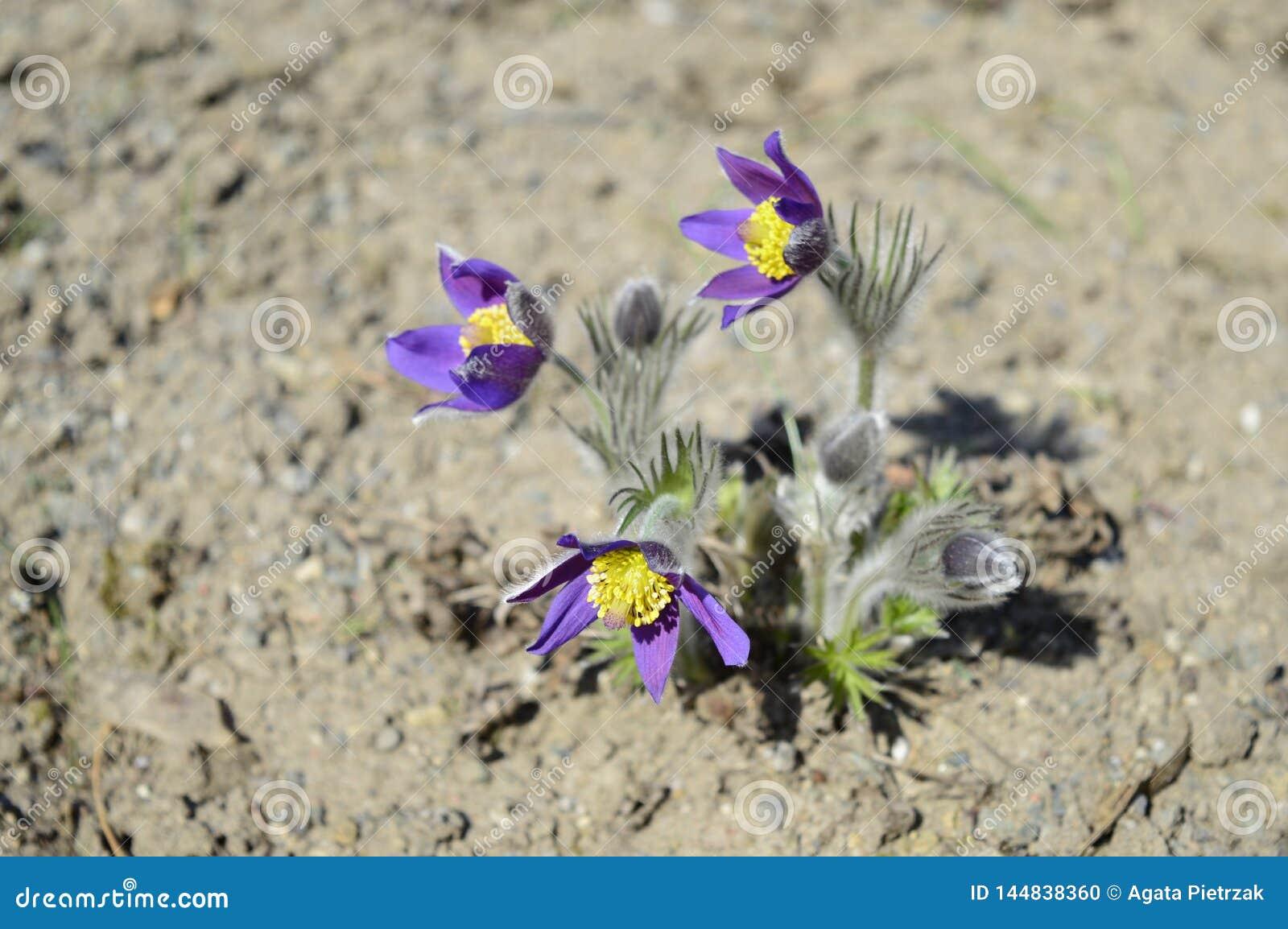 Patens violetas do pulsatilla no sol da mola