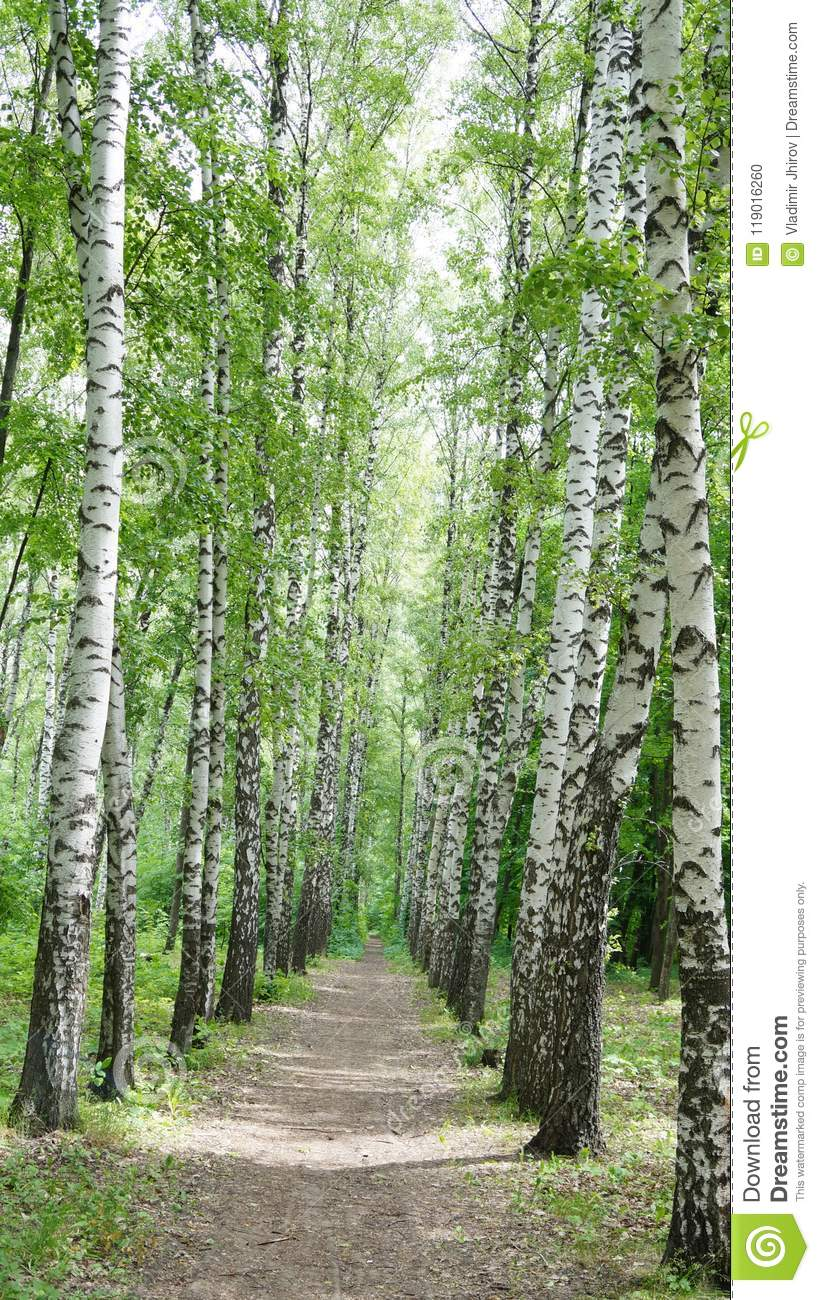 A path in the Birch Alley