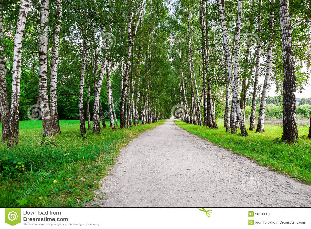 path in the birch - photo #41