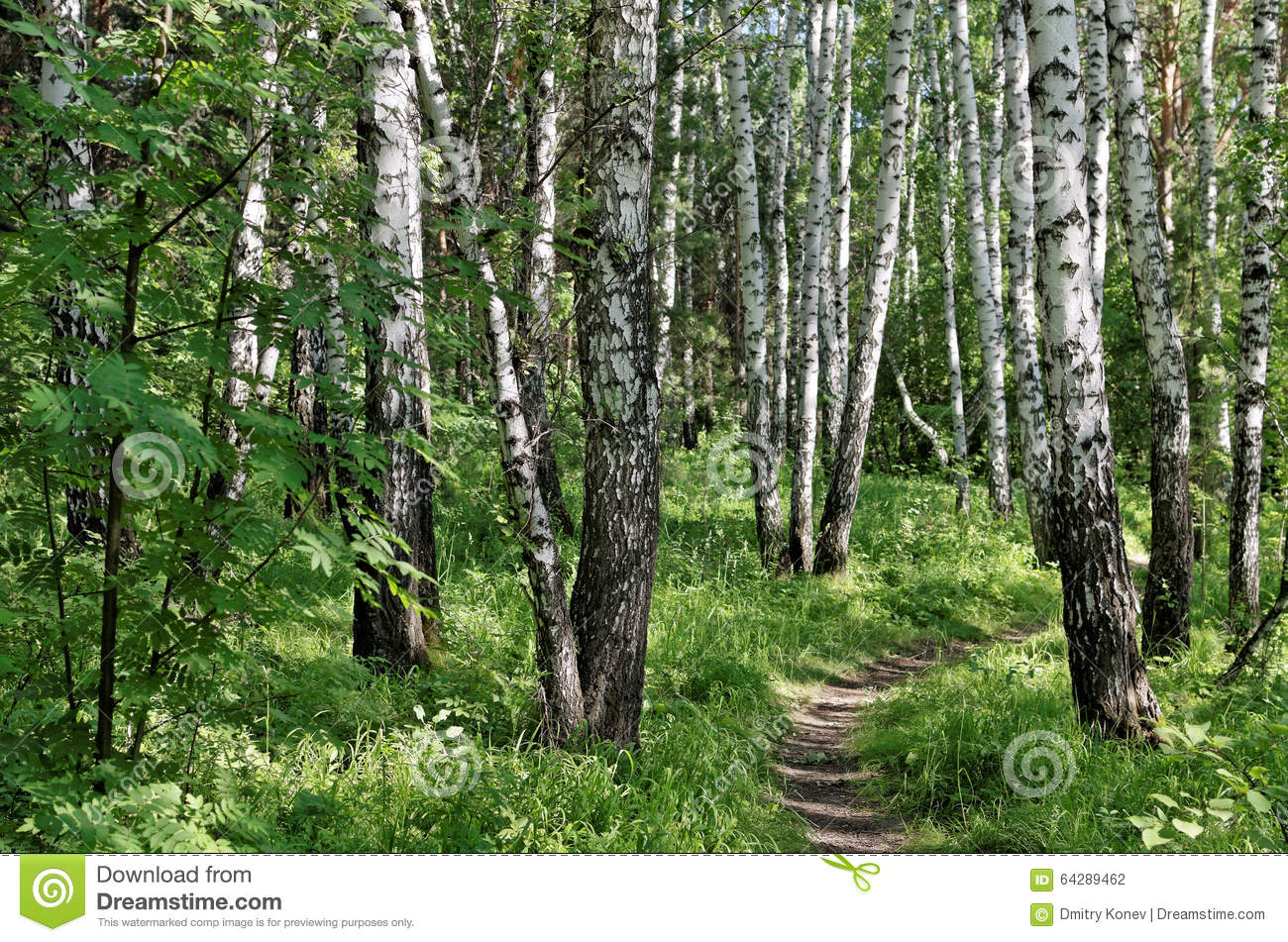 path in the birch - photo #13