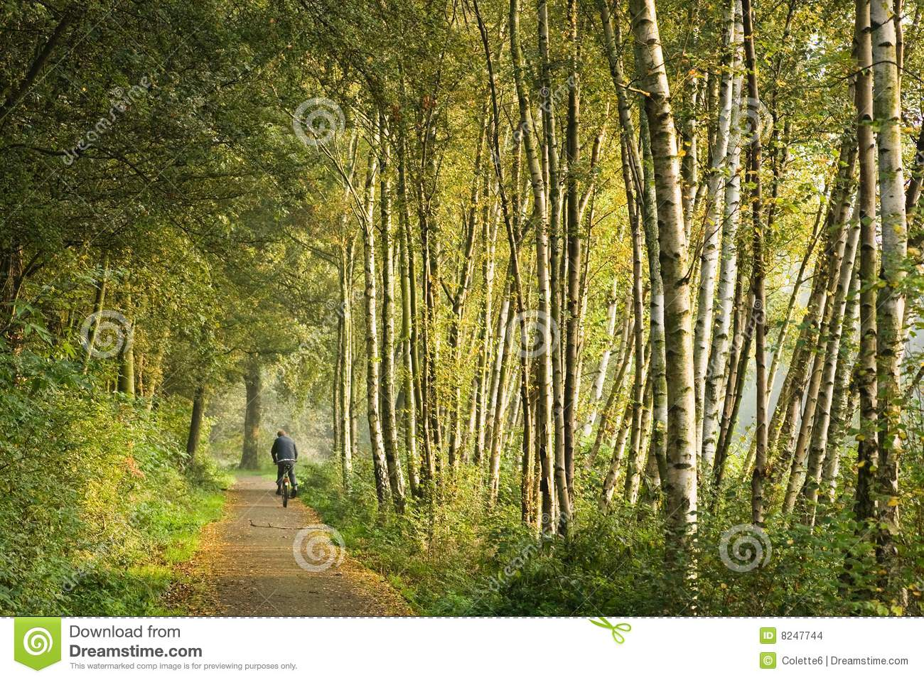 path in the birch - photo #15