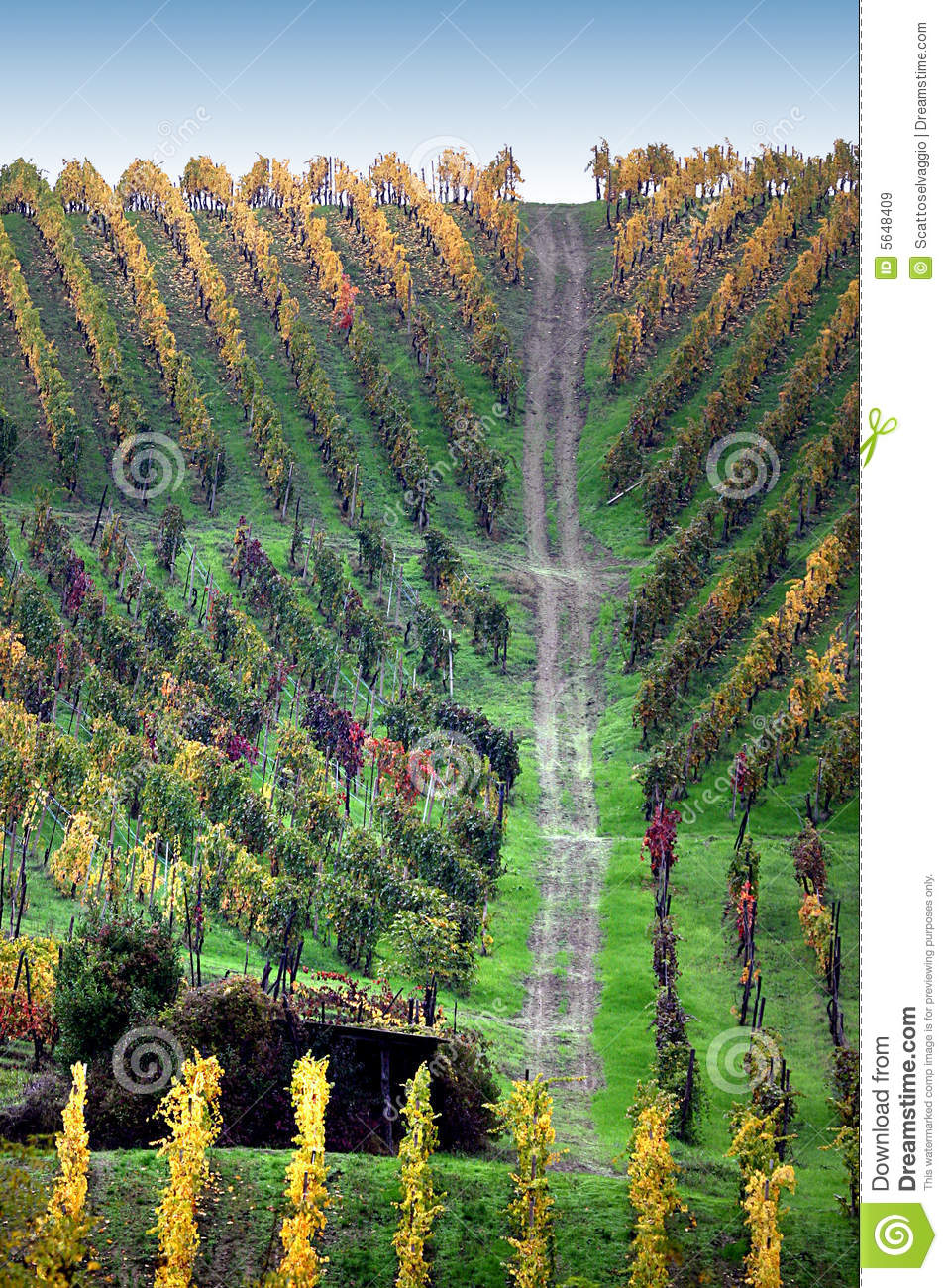 Path in the colorful vine. Colors and drawings of autumn vineyards in Torricella Verzate, Oltrepo pavese, Pavia, Italy.