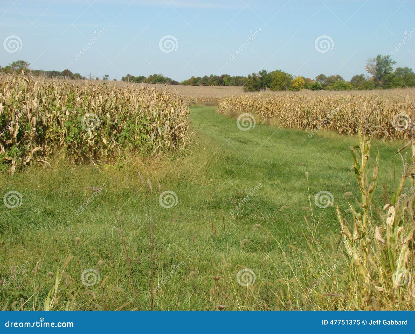 Path between corn fields