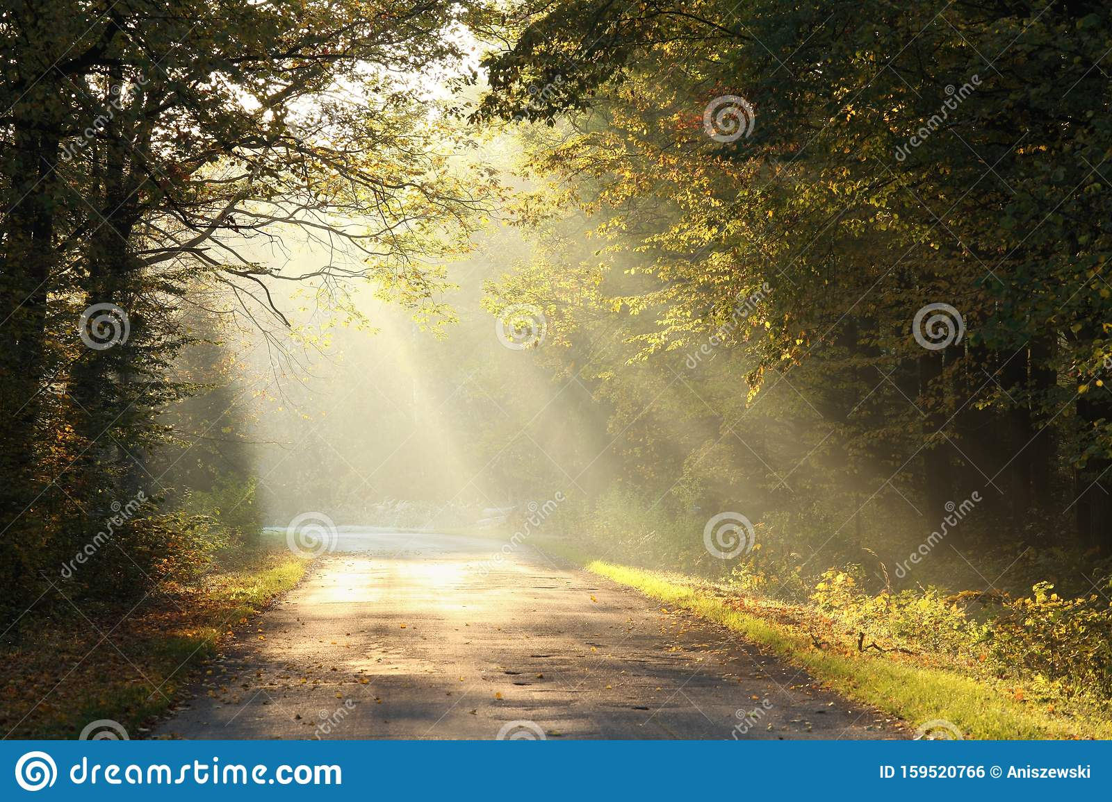 Path Through Foggy Autumn Forest At Sunrise Country Road Through Autumn Deciduous Forest On A Misty Sunny Morning Light Of The Stock Photo Image Of Autumn Misty 159520766 Autumn fog trees forest alley road