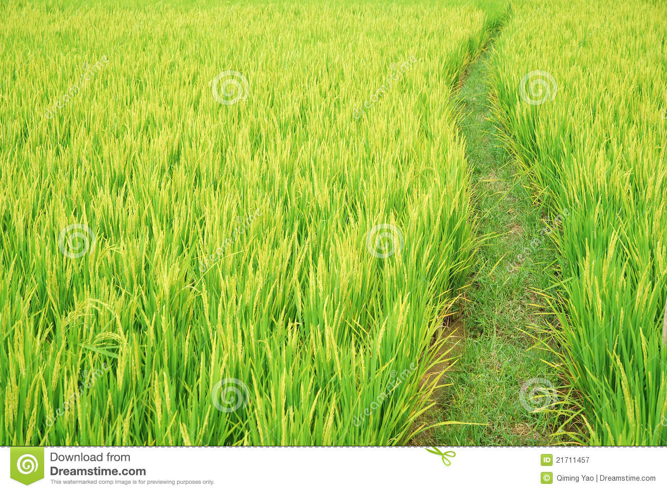 Path in the paddy fields