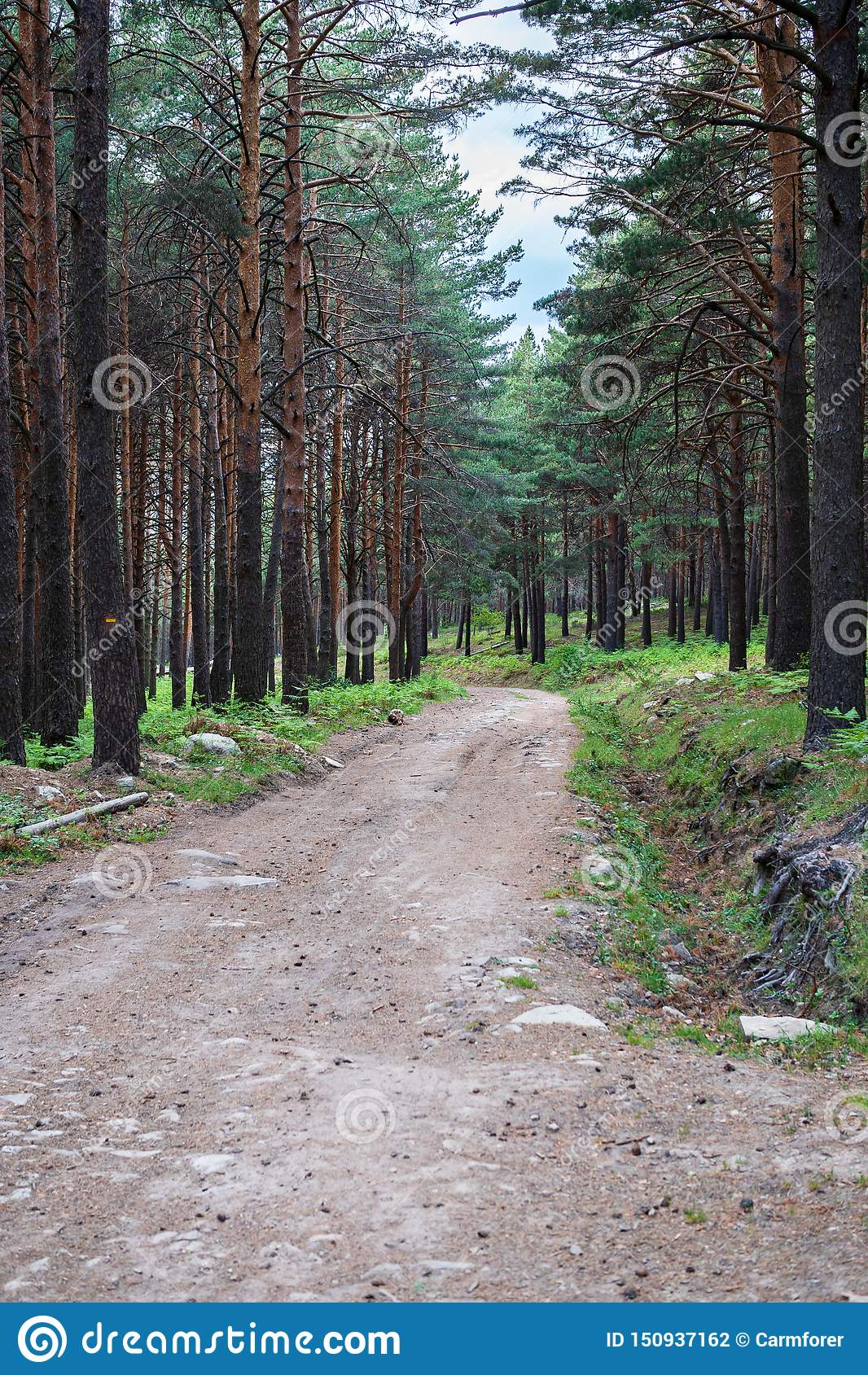 A path in the pine forest