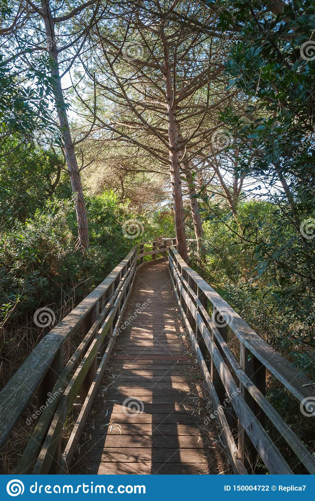 path in pine forest