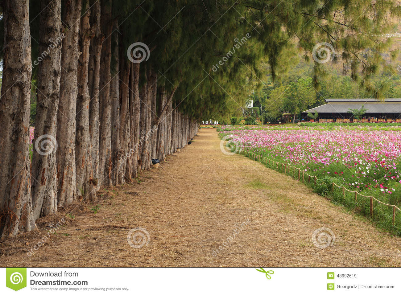 Path between pine trees and cosmos flower field stock image image download path between pine trees and cosmos flower field stock image image of cosmos mightylinksfo