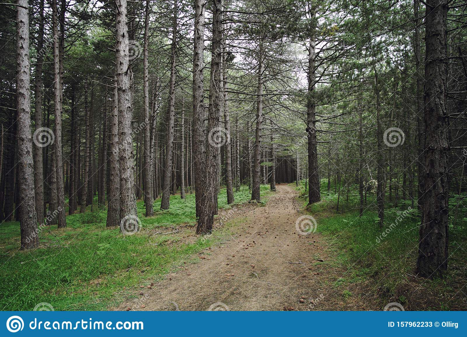Path In A Pinewood