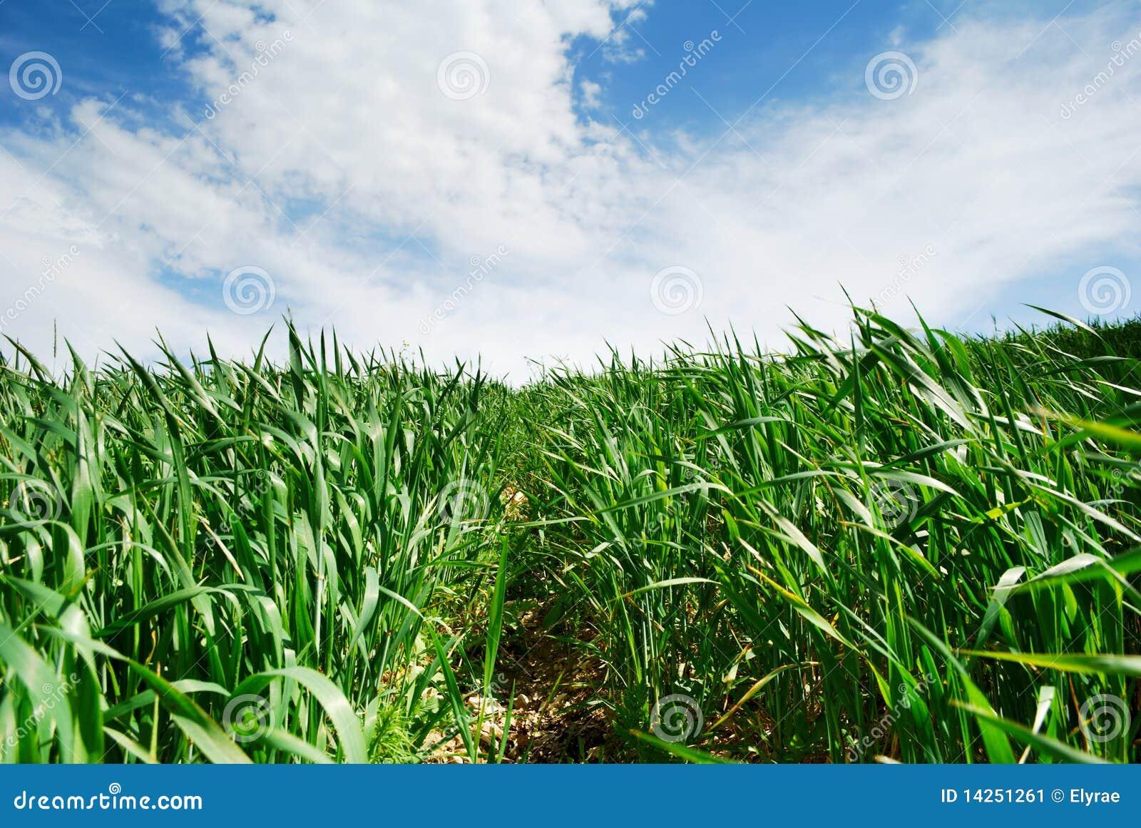 Path through wheat