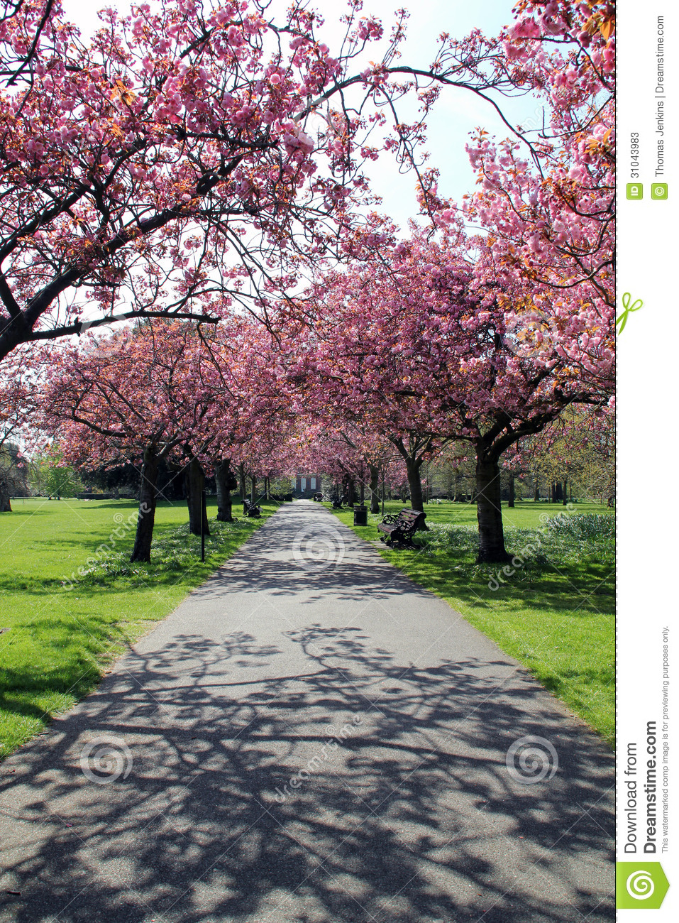 Pathway With Benches Under Pink Blossoms In Greenwich Park
