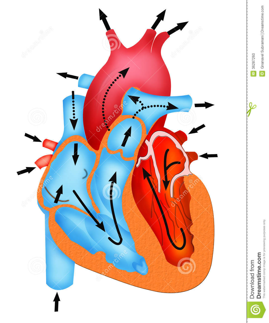 Pathway of blood flow through the heart stock illustration download comp ccuart
