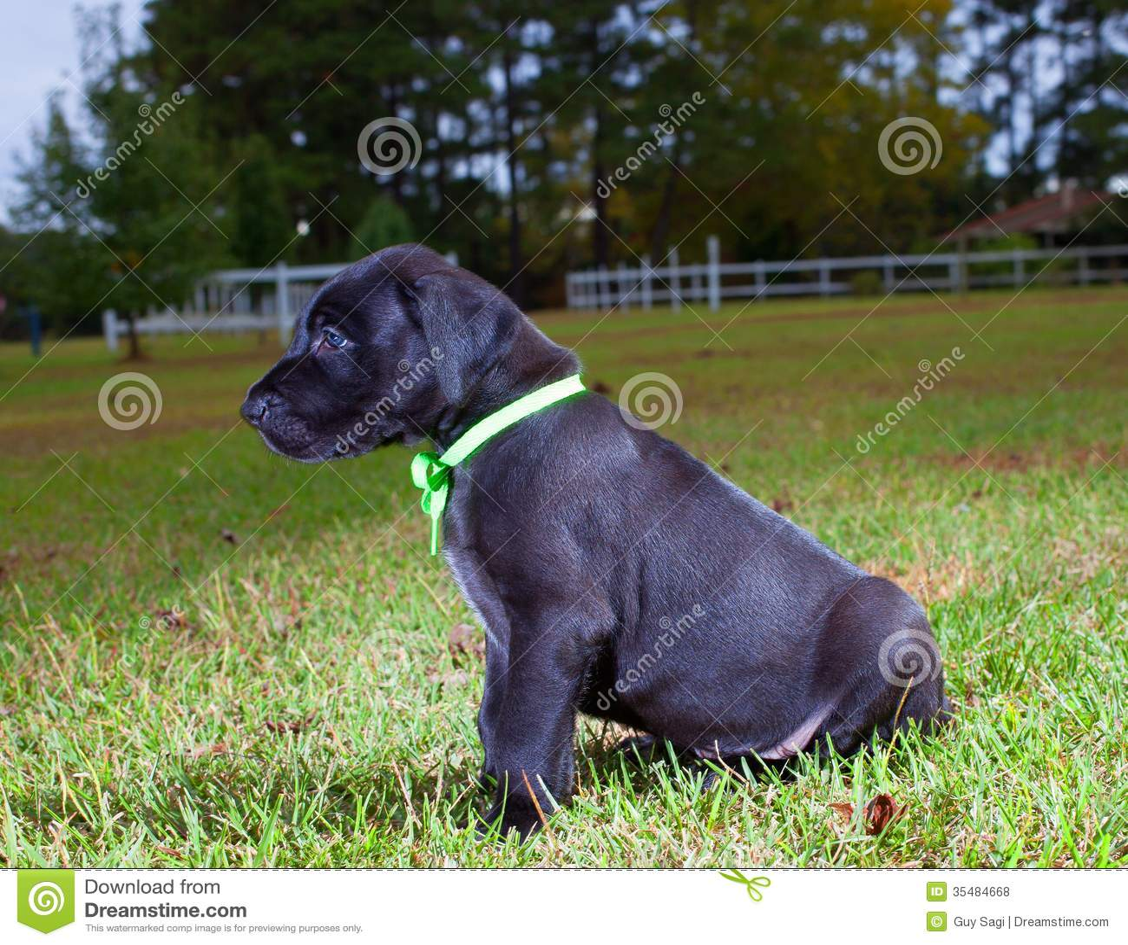 Black Great Dane Puppy Black great Dane puppy that is
