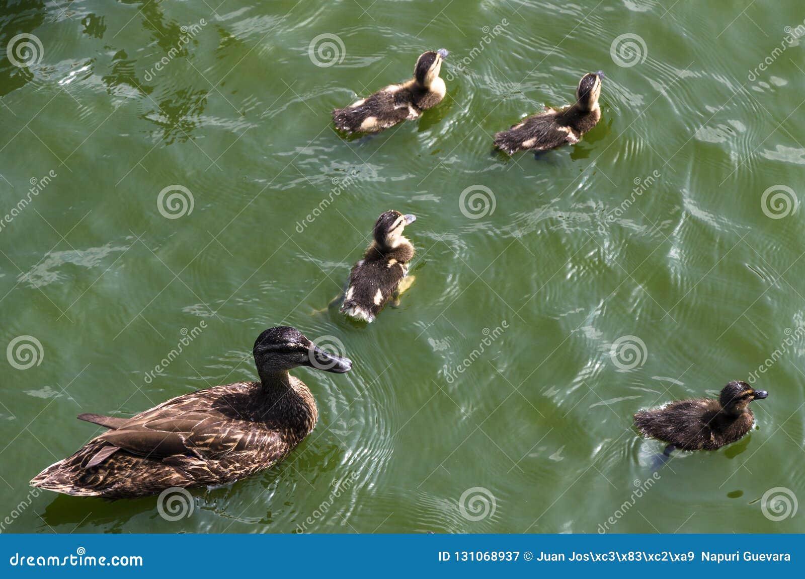 Patinhos bonitos que seguem a mãe, lago, equipe de seguimento do retrato animal calmo figurativo simbólico da família do harmônic