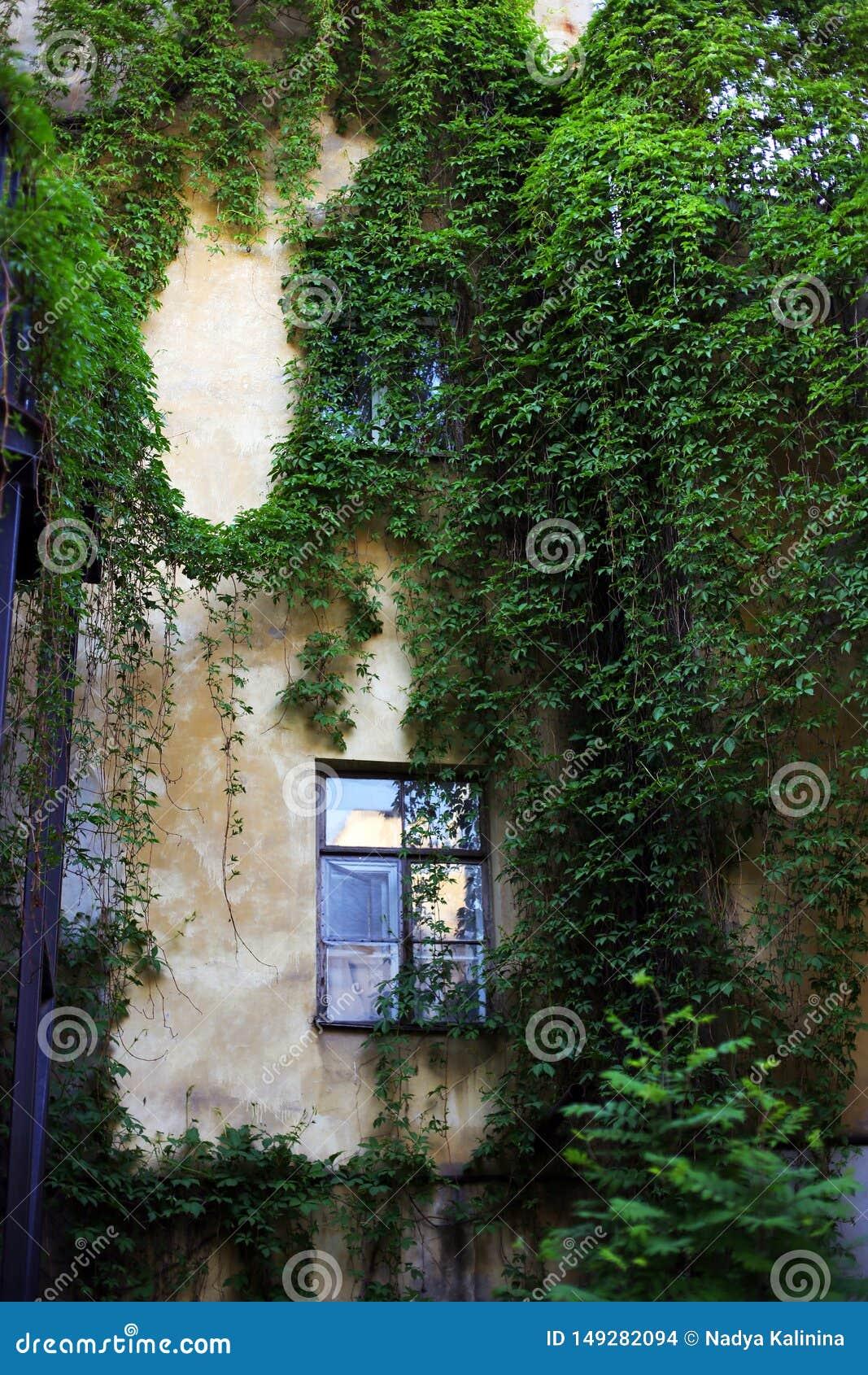 Patio con la hiedra en la pared