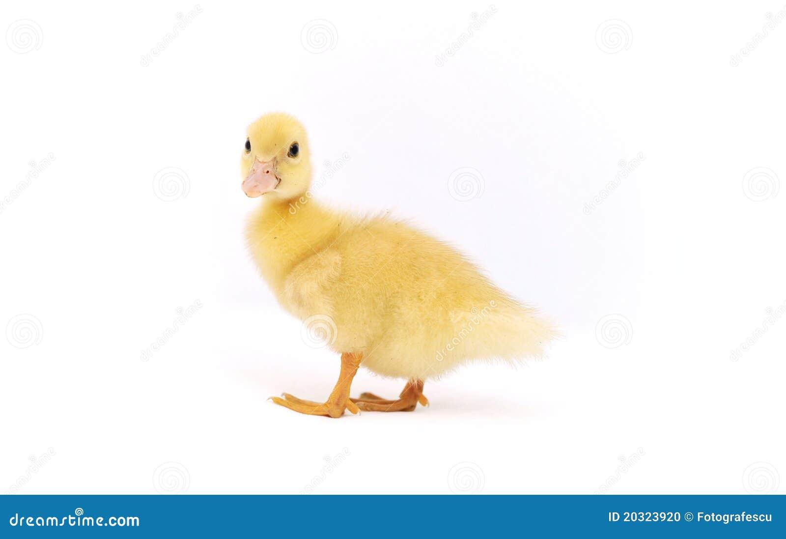 Pato amarelo do bebê