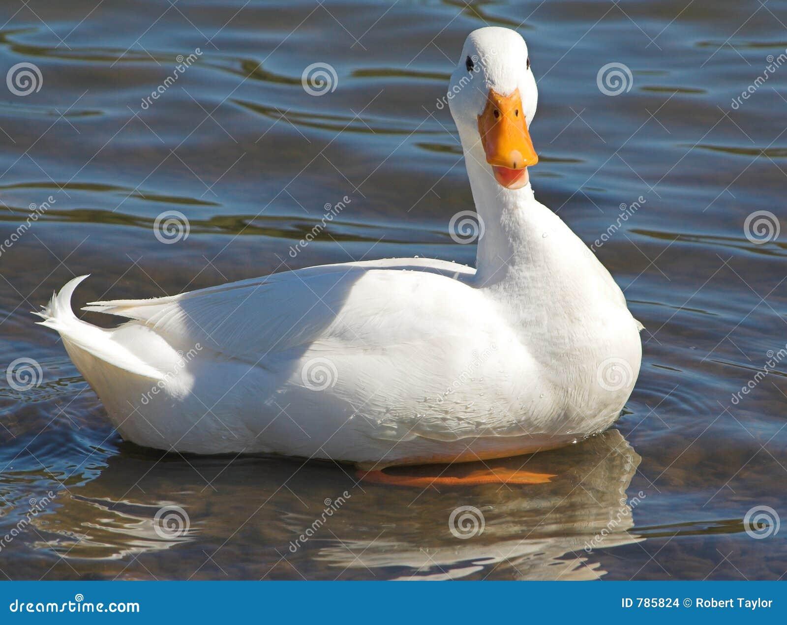 Pato blanco prístino