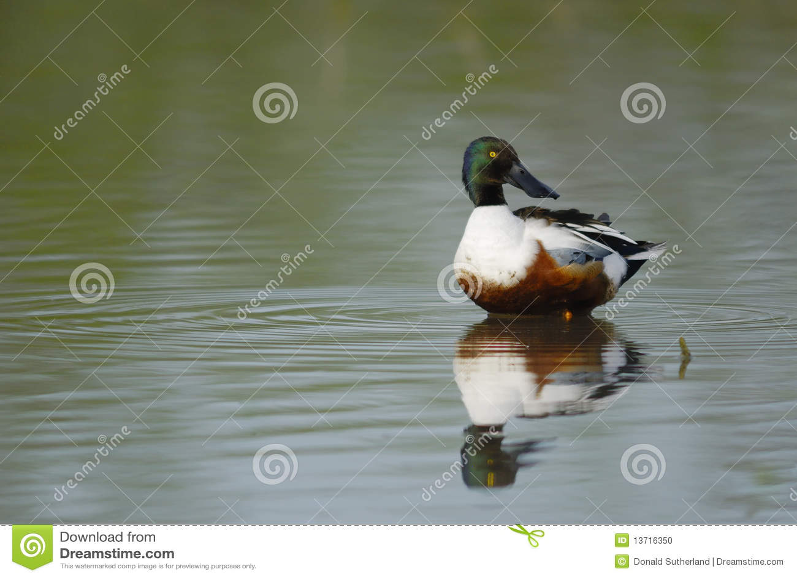 Pato-colhereiro do norte (clypeata dos Anas)