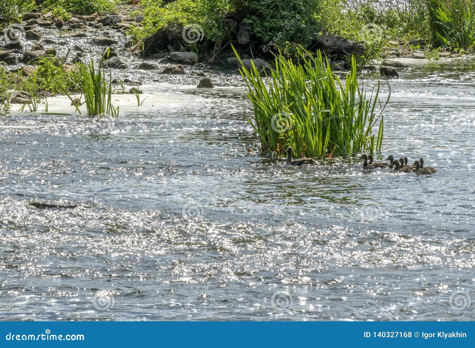 Pato con la cría que flota en el río