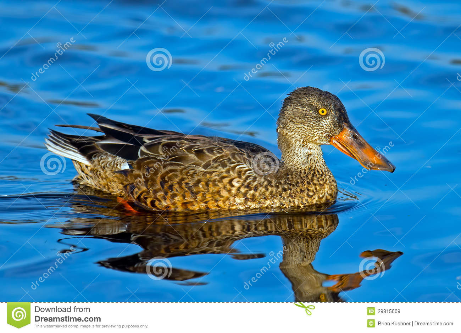 Pato cuchara septentrional