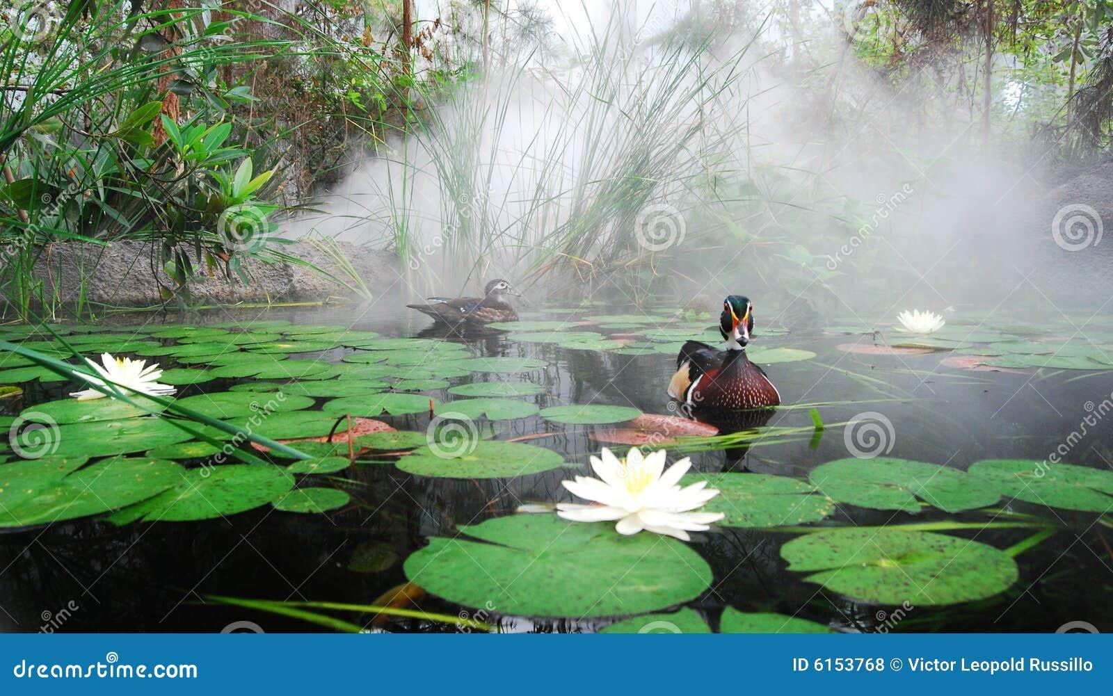 Pato de madeira e companheiro na lagoa enevoada de Lilly