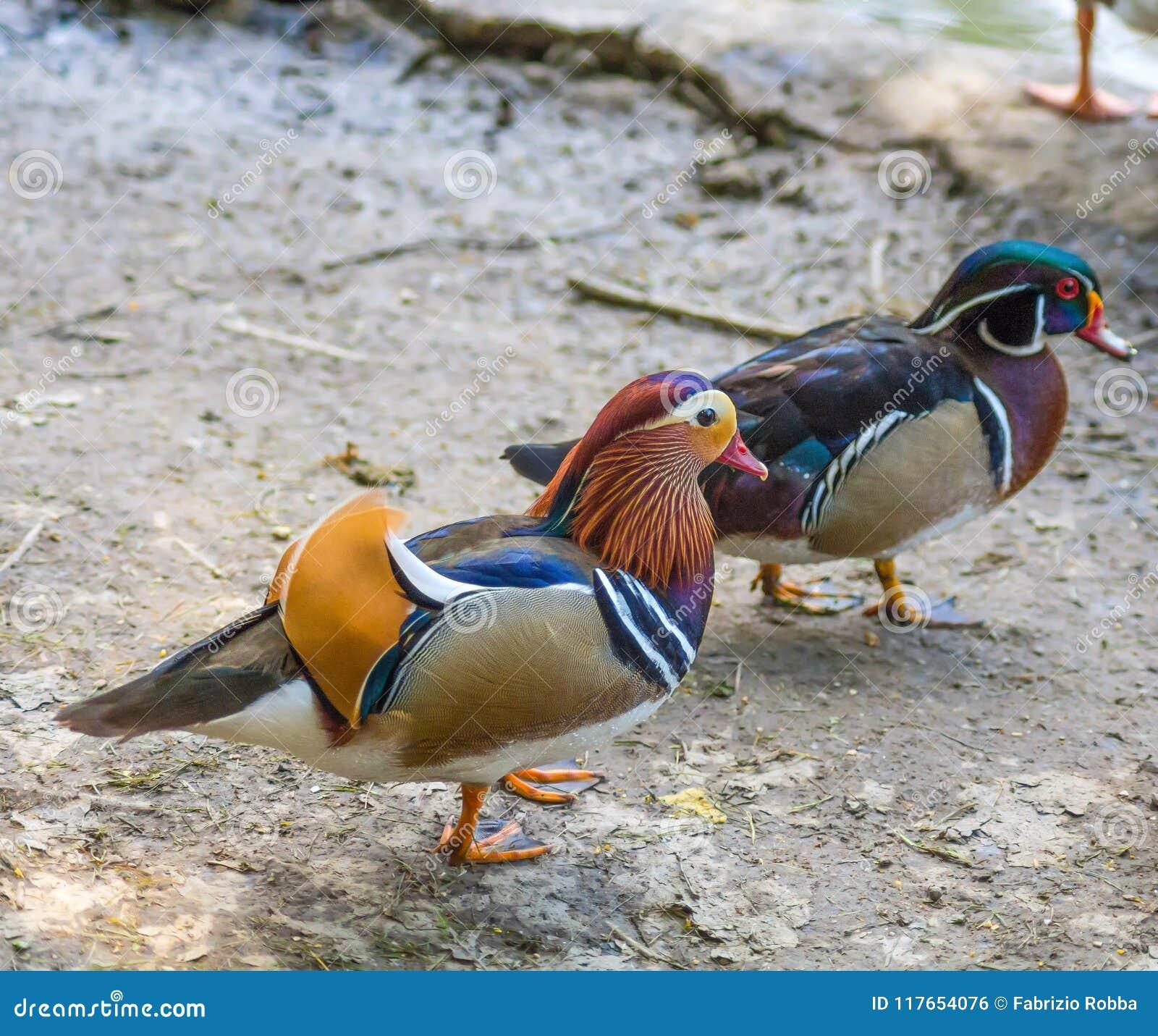 Pato de mandarín y pato de madera