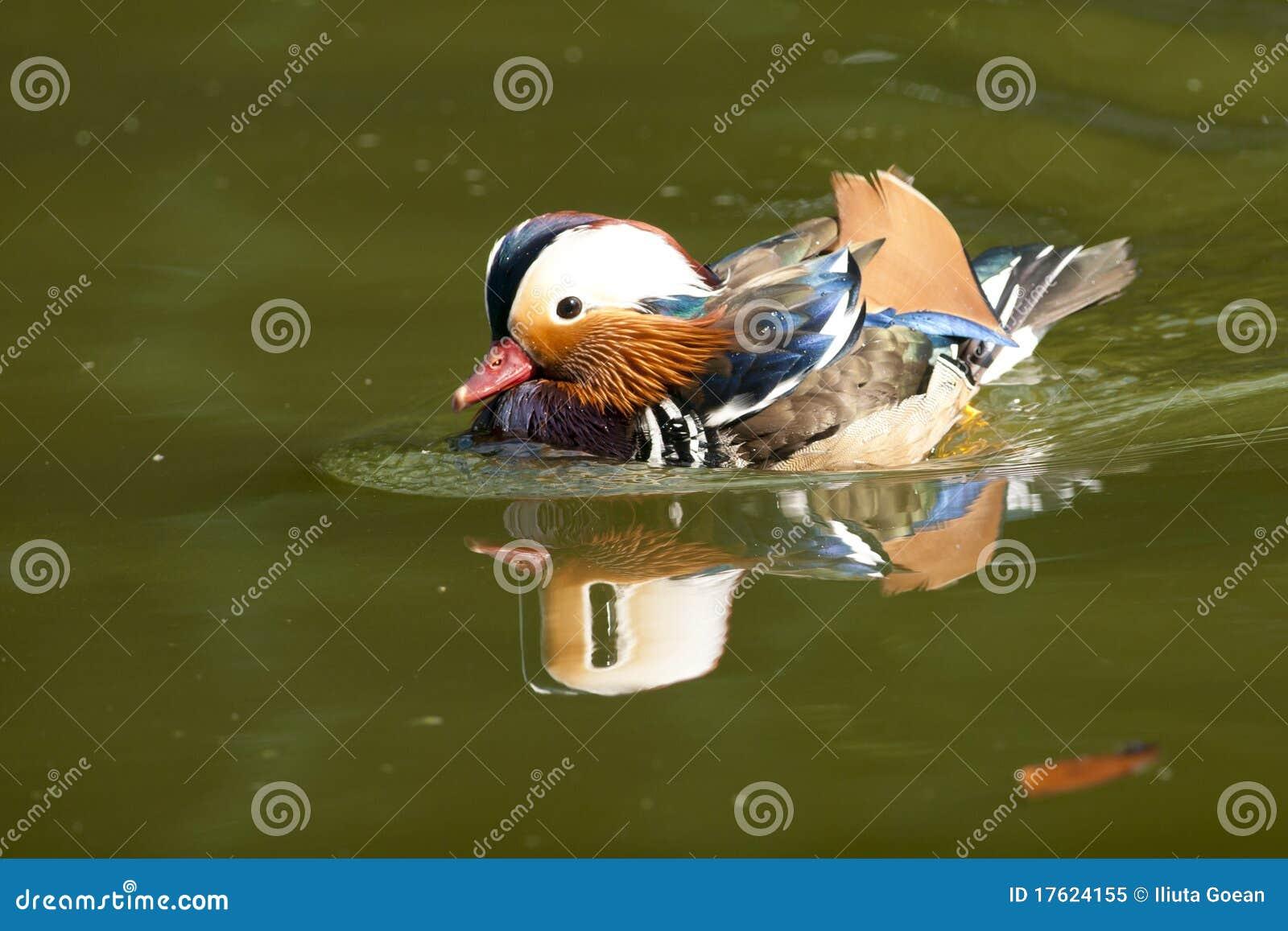 Pato de mandarino Drake
