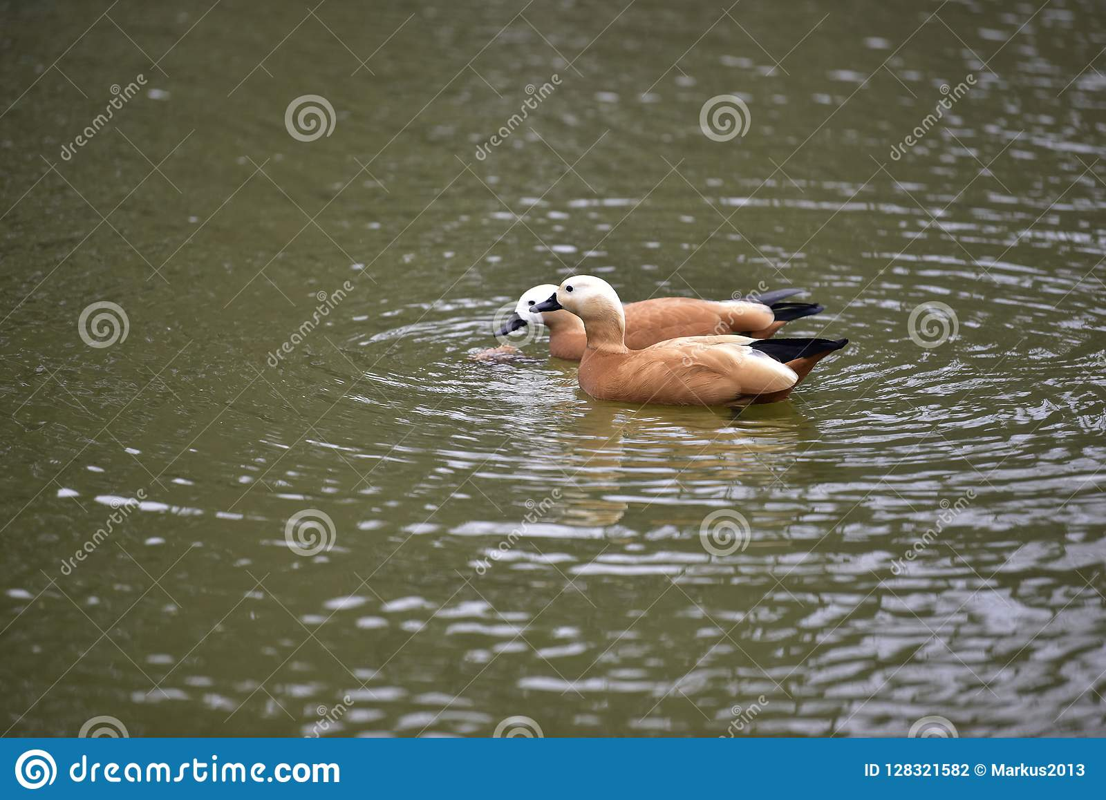 Pato de mandarino no lago