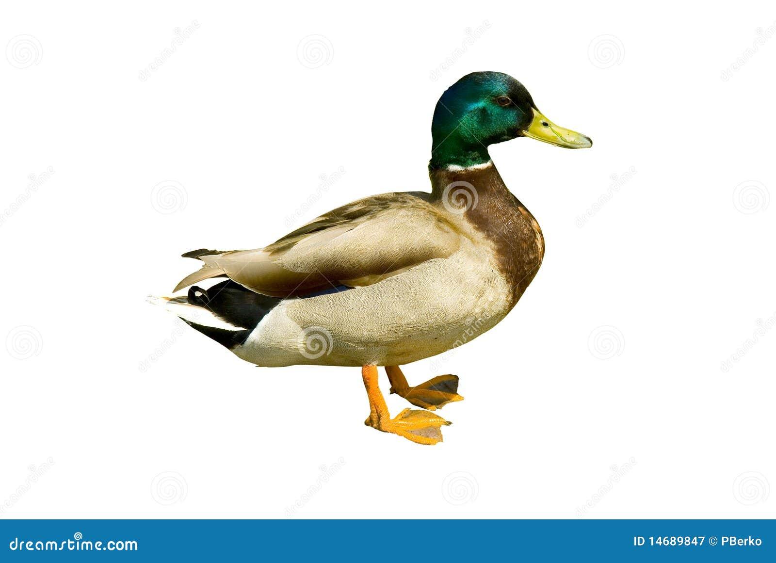 pato del pato silvestre imagen de archivo imagen de Mallard Duck Swimming Clip Art Mallard Duck Silhouette Clip Art