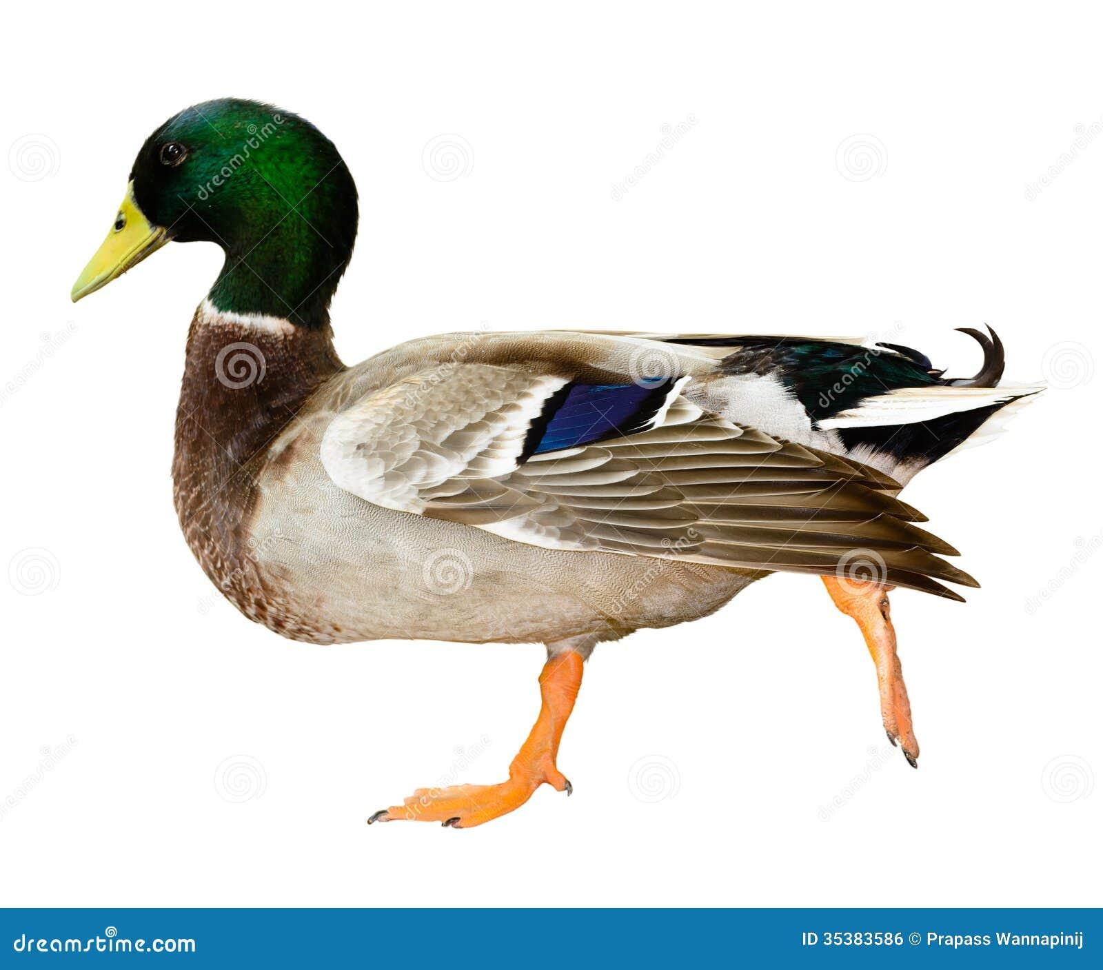 Pato del pato silvestre aislado