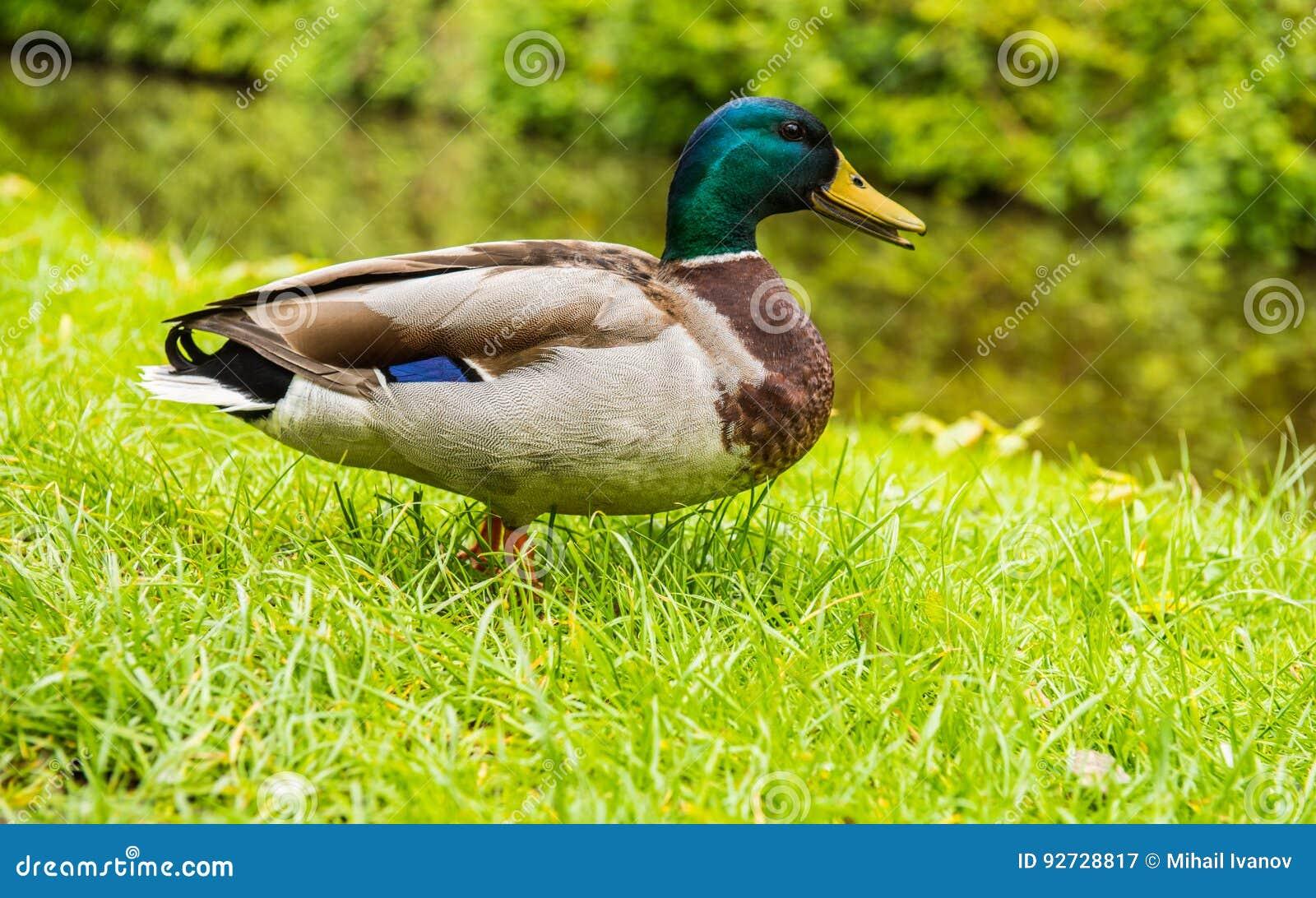 Pato del varón del pato silvestre