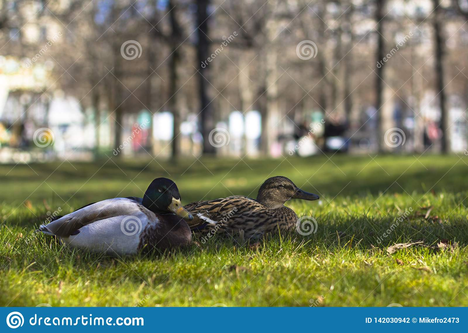 Pato dois no lown verde no parque