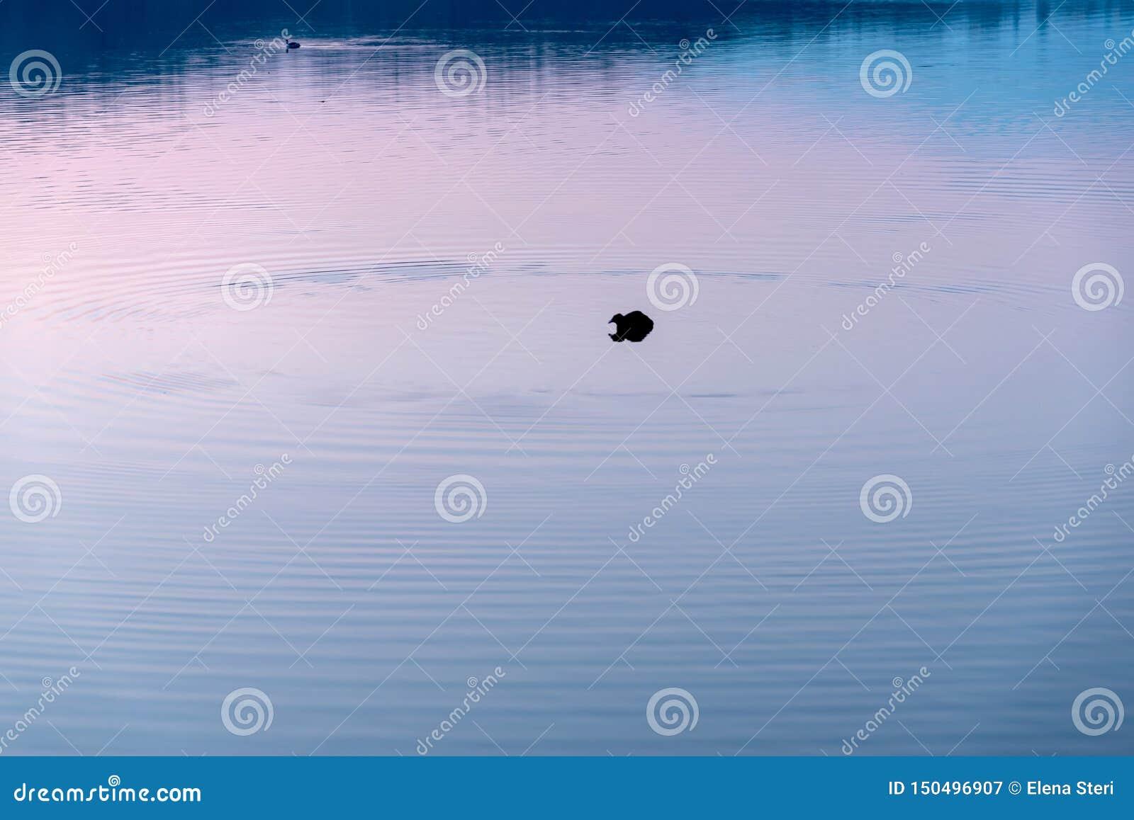 Pato en púrpura
