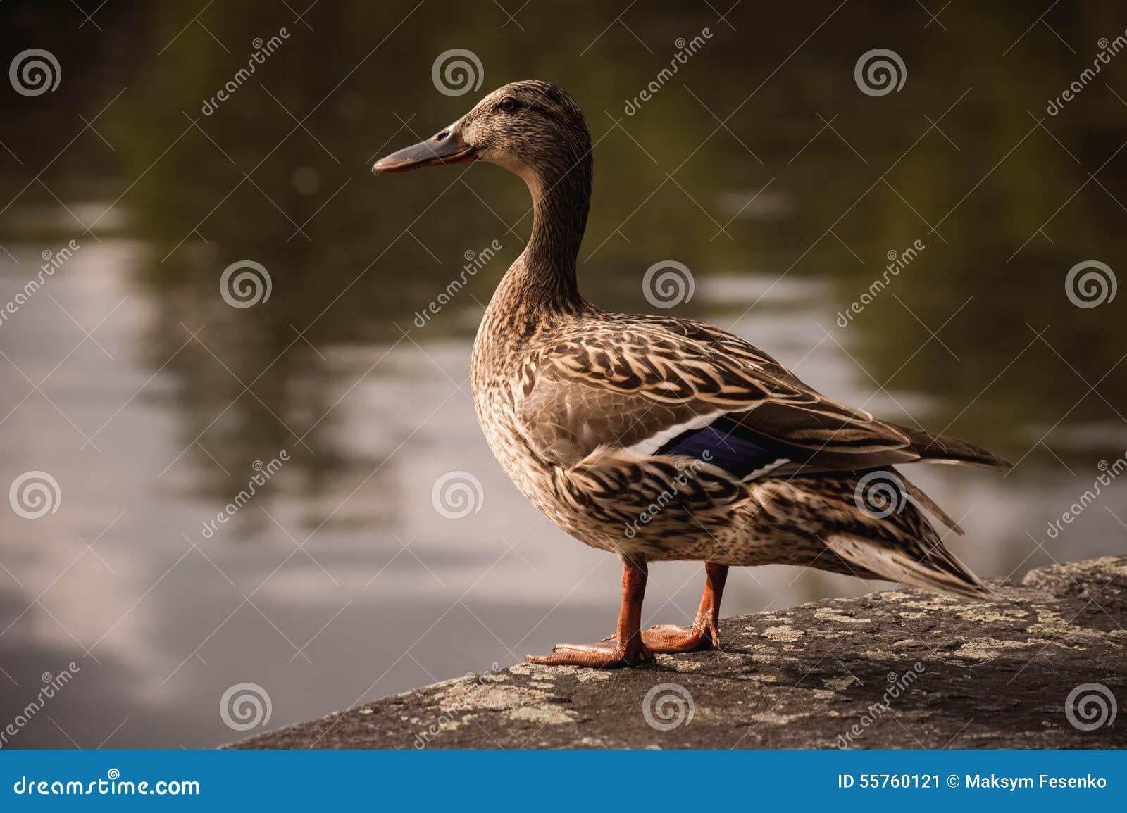Pato fêmea do pato selvagem que está na borda da pedra