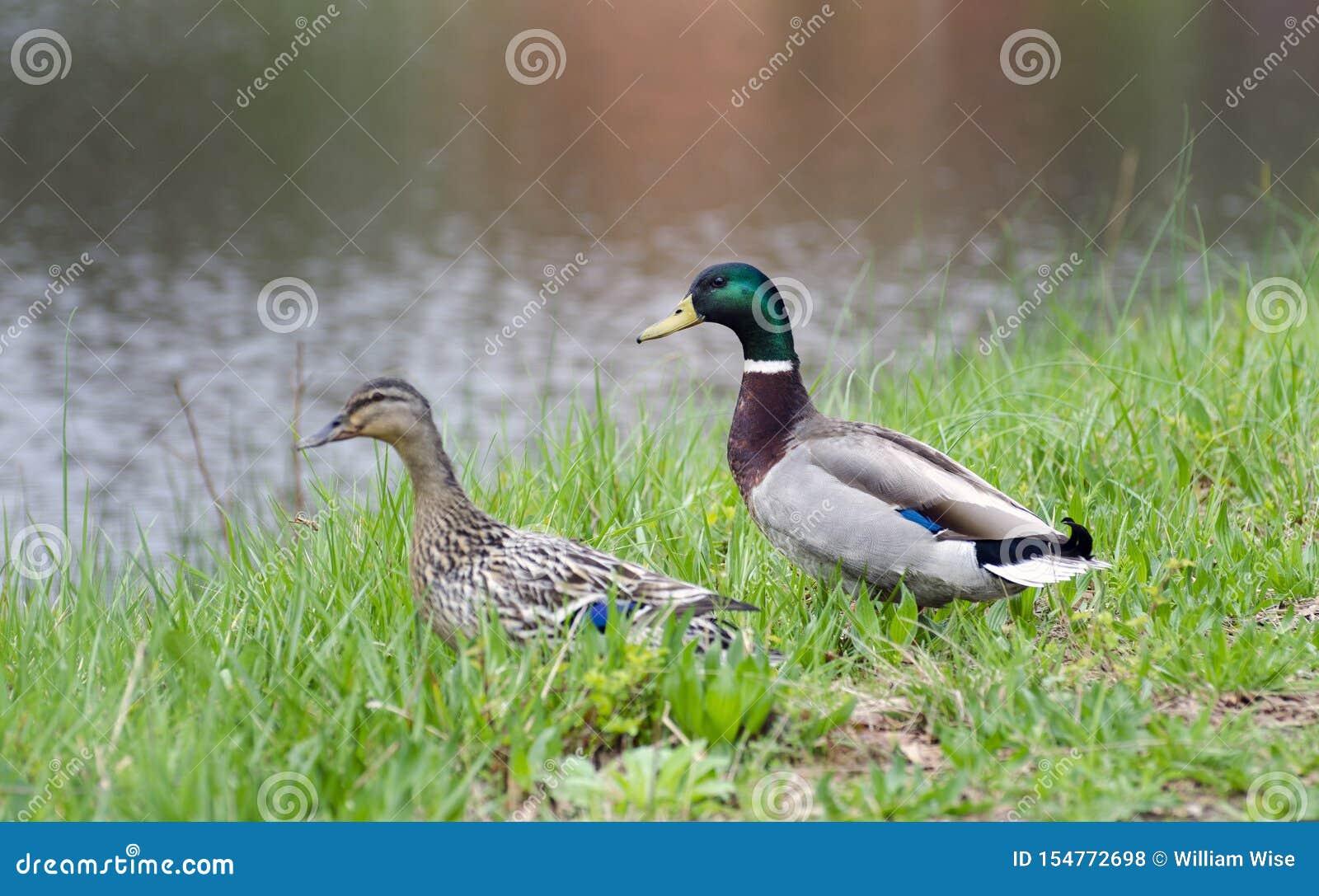 Pato Macho Y Gallina Del Pato Del Pato Silvestre En La Hierba Por Una Pequeña Charca Foto De Archivo Imagen De Pequeña Hierba 154772698