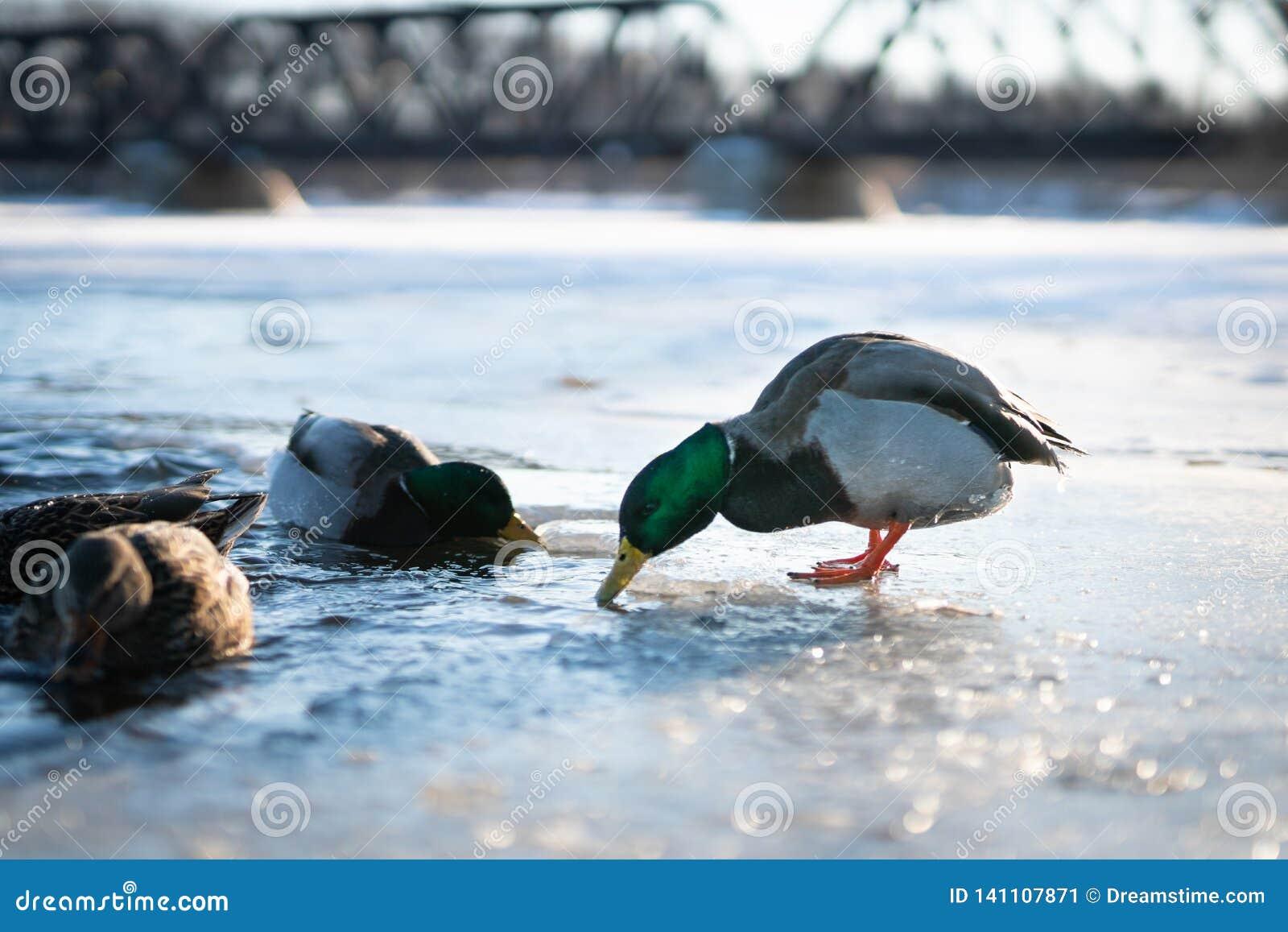 Pato masculino del pato silvestre alrededor a zambullirse en la agua fría de un lago o de una charca congelado del río en una luz