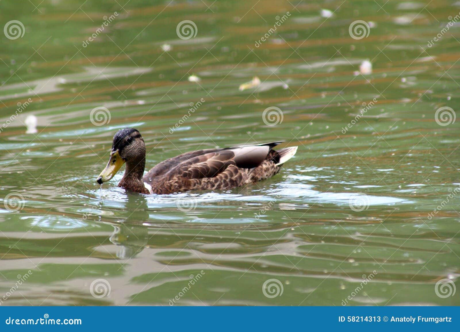 Pato na lagoa