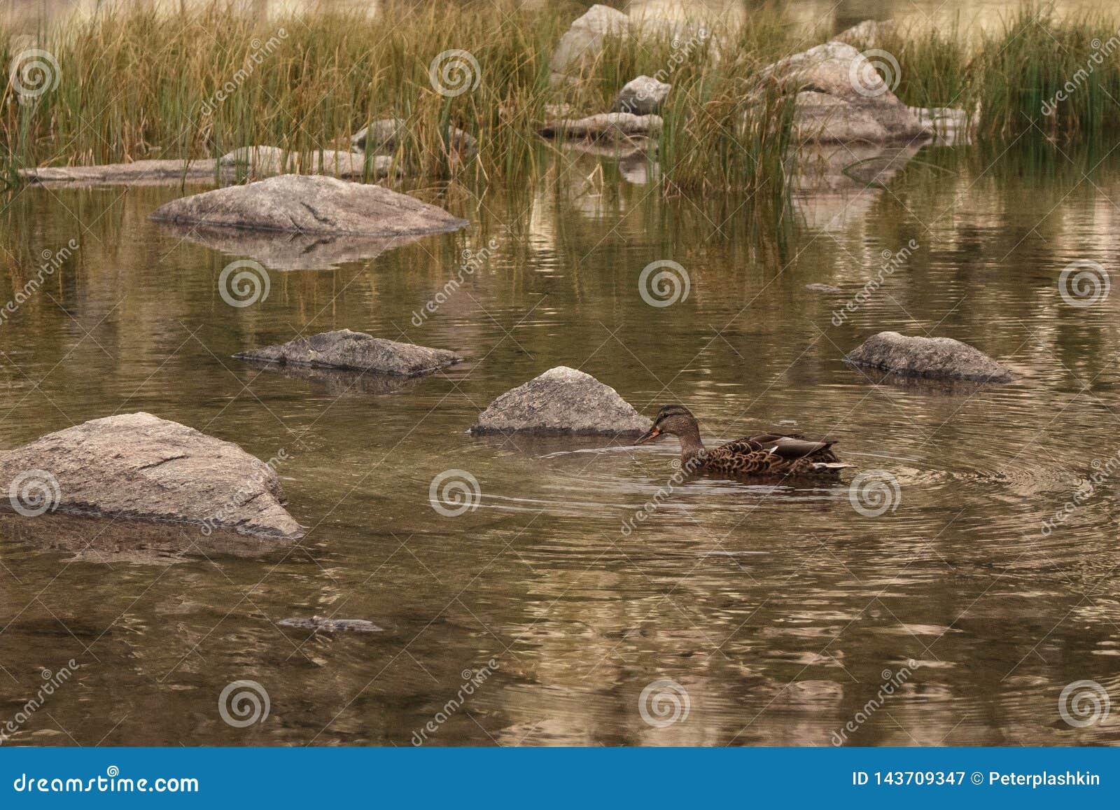Pato no rio da montanha
