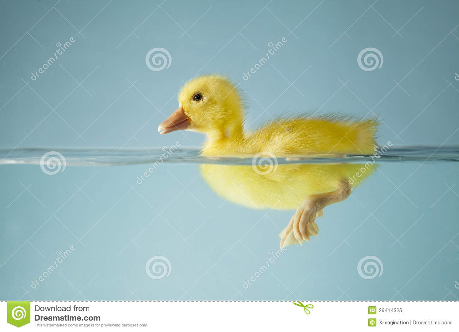 Pato pequeno que flutua na água