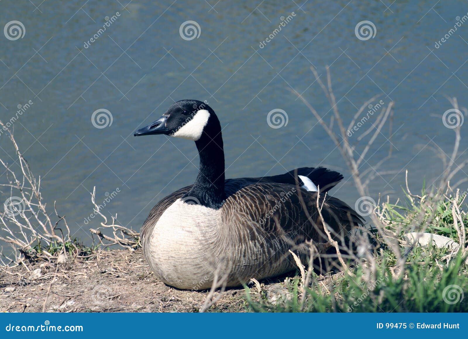 Pato por Lagoa
