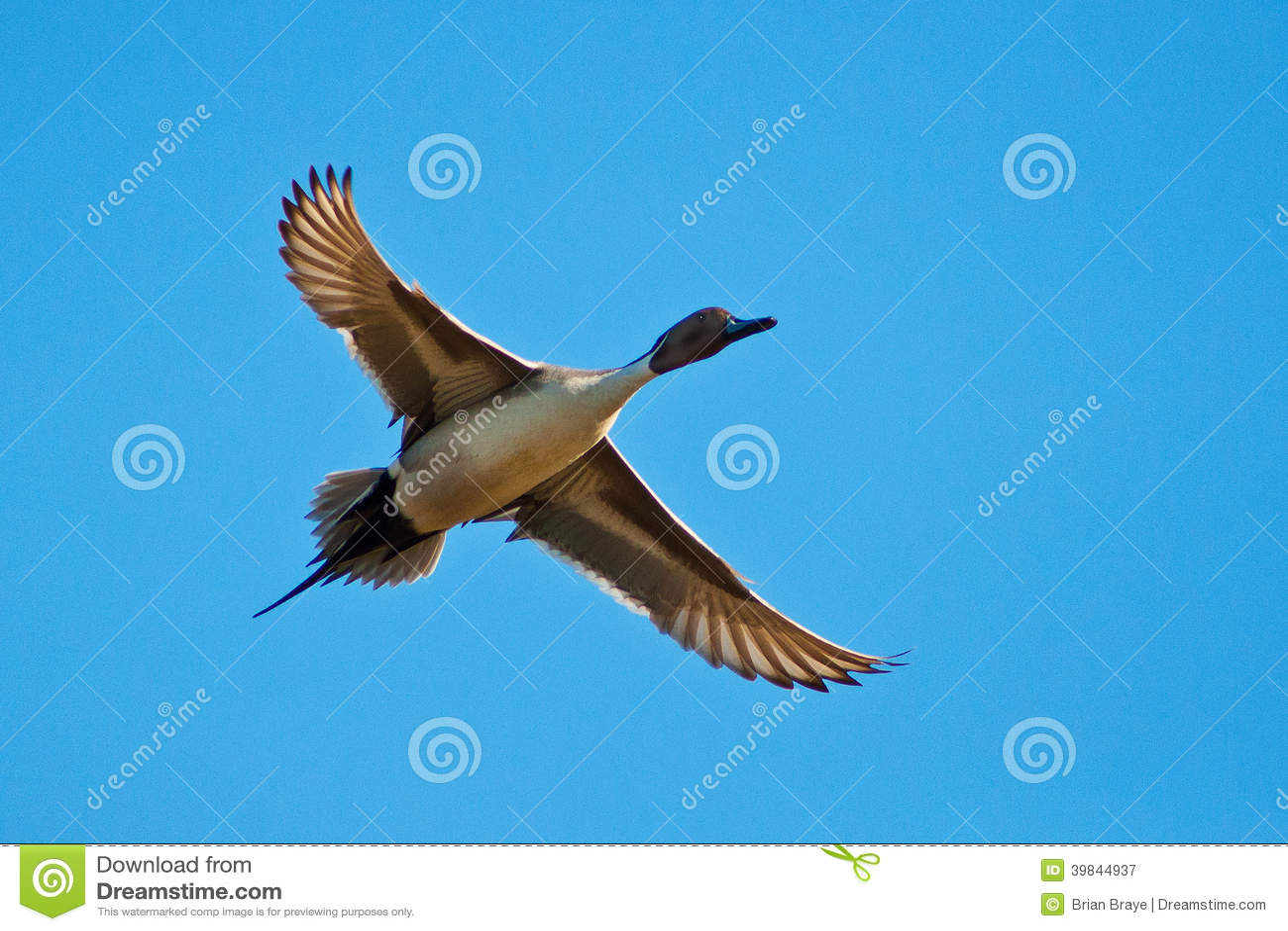 Pato rojizo en vuelo