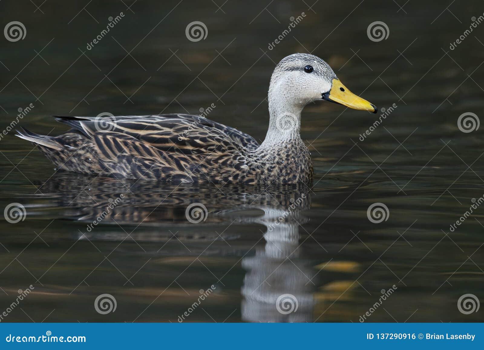 Pato sarapintado masculino que nada em um rio - Florida