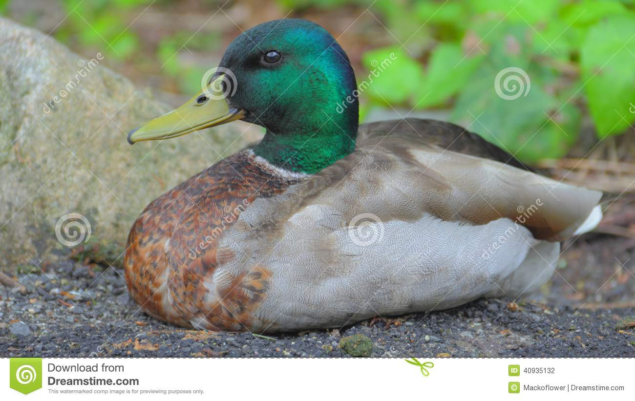 Pato selvagem Duck Chilling Out