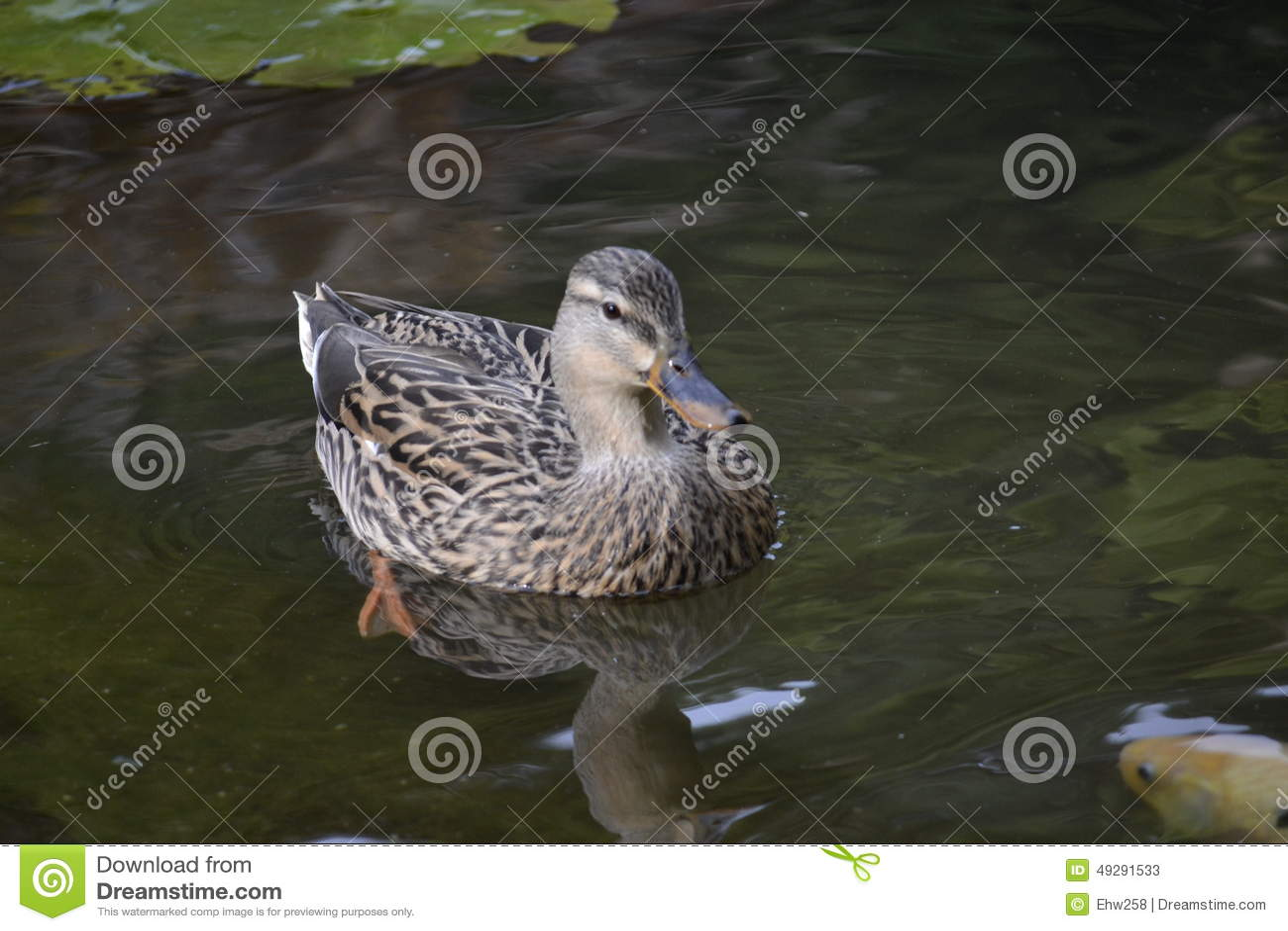 Pato selvagem Duck Pond